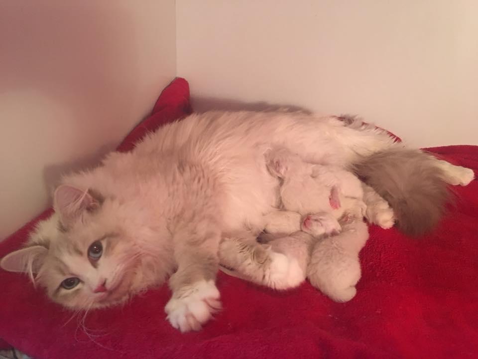 Caramelka et ses chatons